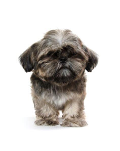 shih tzu stages shih tzu puppy grooming
