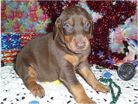 doberman puppies for sale in iowa dogs muscatine ia free classified ads