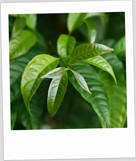 Benih Pokok Serai Kayu tanamsendiri grow your own daun serai kayu ulam