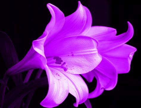 flowers lilies purple wallpaper wallpapersafari