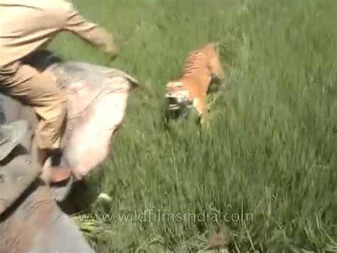 film ular makan harimau gambar november 2009 fianmuse gambar harimau makan manusia
