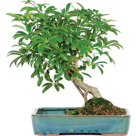 brussels hawaiian umbrella  land water pot bonsai