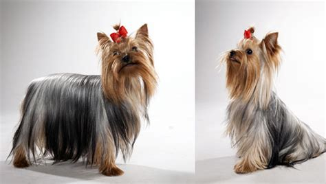 silky yorkie terrier breeds terrier breed selector animal planet