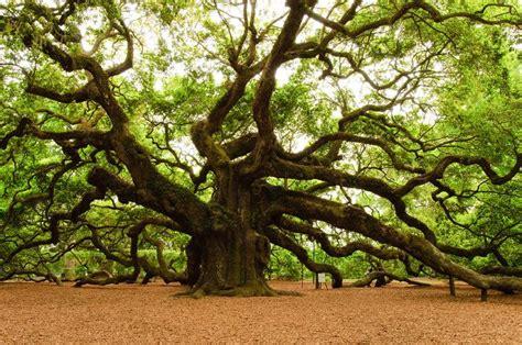 angel oak tree south carolina i love trees pinterest