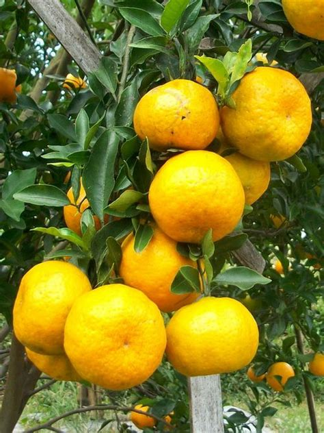 Karbol Sereh Fruity de 288 beste afbeeldingen indonesia culinary herbs spices fruits vegetables op