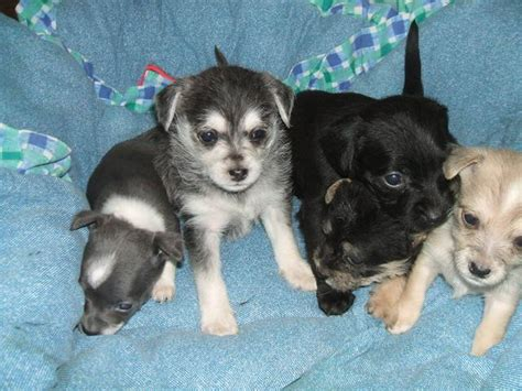 puppies for sale in new mexico chihuahua for sale in new mexico picture and images