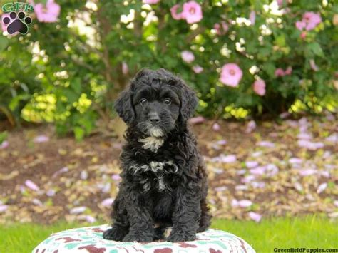 bernedoodle puppies for sale in pa 30 best images about bernedoodles
