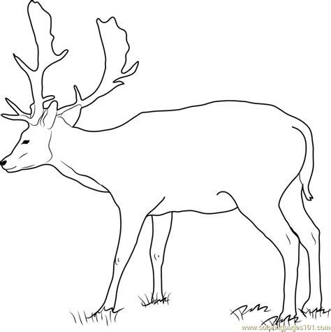 coloring pages of deer bucks fallow buck deer coloring page free deer coloring pages