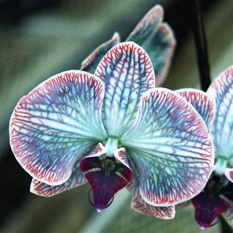 Pflege Orchideen Phalaenopsis 4967 veining trees plant fruit blumen