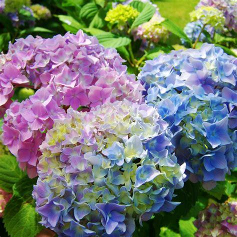pflanzen hortensien hortensien pflanzen und pflegen