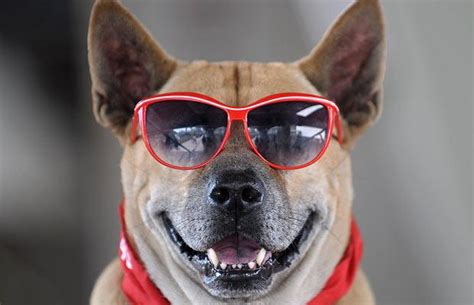 Wears Really Cool by 20 Dogs With Glasses Amazing Creatures