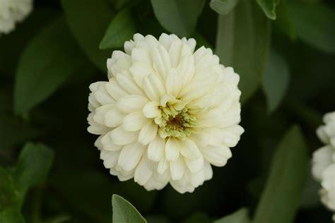 Zahara White zinnia marylandica zahara white