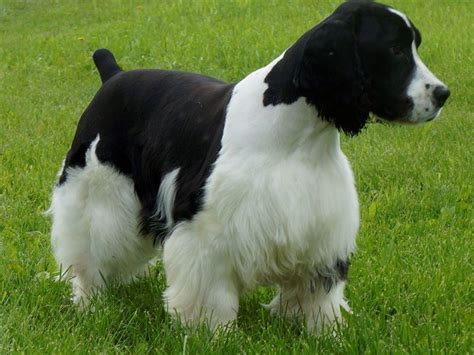 bench bred english springer spaniels english springer spaniel for sale by country pride