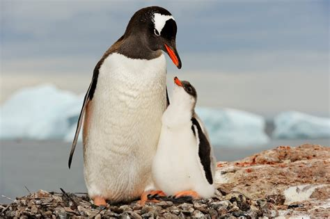 Adelie Penguin With Baby Adelie Penguin - DesiComments.com