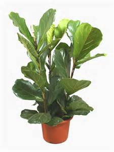 exceptional What Are Good Indoor House Plants #5: Ficus-Lyrata-1.jpg