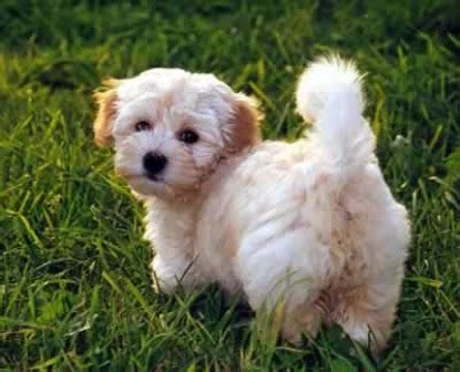 dogs havanese breed 301 moved permanently