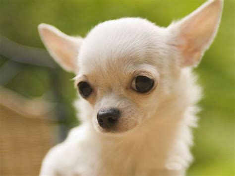 chihuahua puppies indiana adopt chihuahua dogs in india pets world