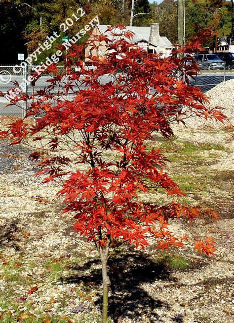 Bibit Bonsai Maple bibit benih seeds japanese maple inazuma purple and leaf