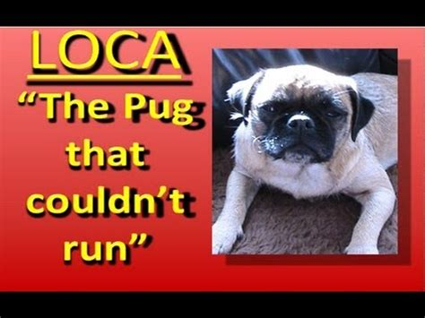 loca pug loca the pug singing the pug that couldn t run
