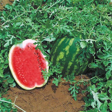 Top Gun Hybrid Watermelon Seeds