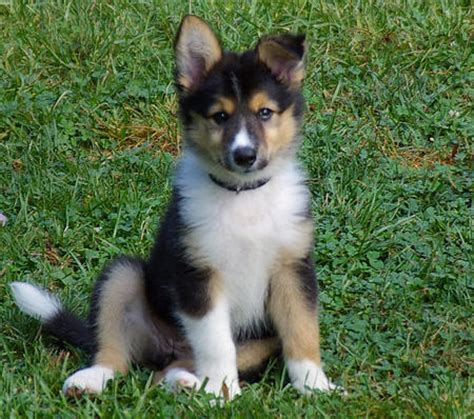 collie mix puppies border collie german shepherd husky mix quotes