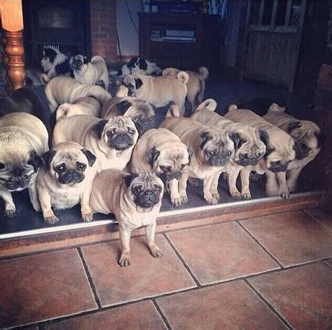are pugs family dogs pug family hogs n dogs
