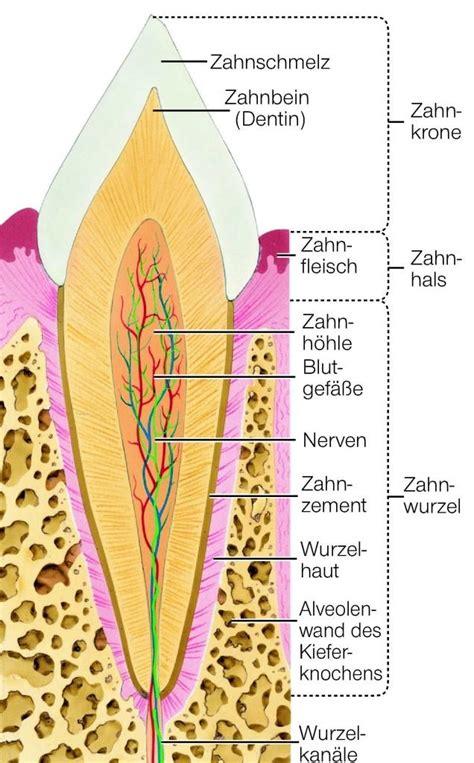 Beschriftung Zahn by Z 228 Hne Anatomie Aus Dem Lexikon Wissen De Https Www