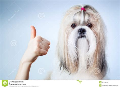 shih tzu background pin shih tzu background graphics pictures on