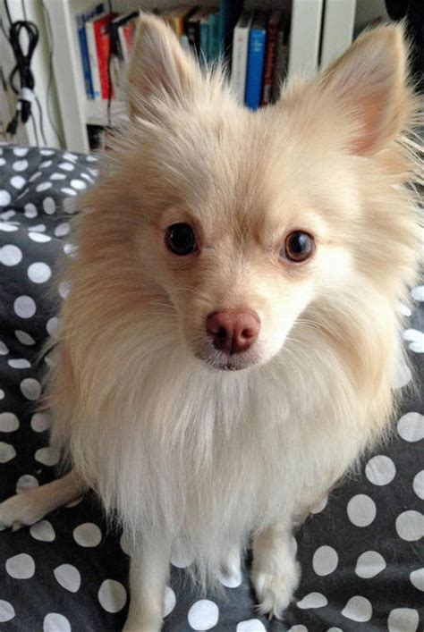 caring for pomeranian puppies articles breeds buying and caring for pomeranian puppies breeds picture