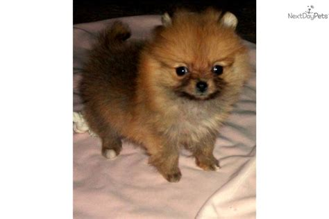 pomeranian breeders in massachusetts meet khloe a pomeranian puppy for sale for 1 500 adorable teacup