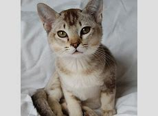 The 25+ best Burmilla cat ideas on Pinterest   Burmilla ... Fluffiest Kittens In The World