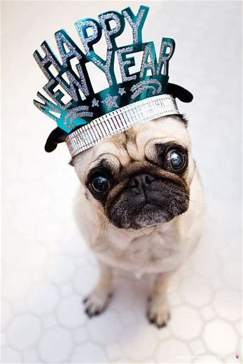 new year for dogs pug dogs happy new year puppy newyear puppies