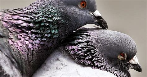 Pigeon 2 Pa pennsylvania clings to pigeon shoots that nearly vanished nationwide phillyvoice
