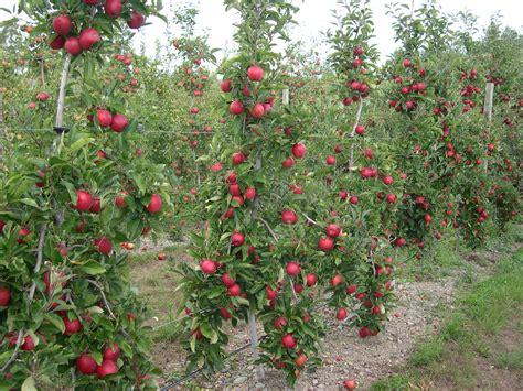 apple rootstocks