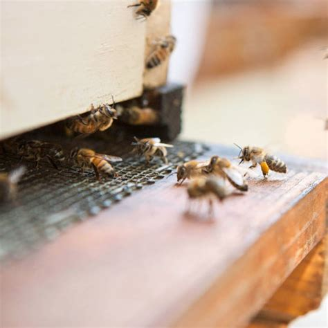 How To Raise Honeybees How To Raise Bees In Your Backyard
