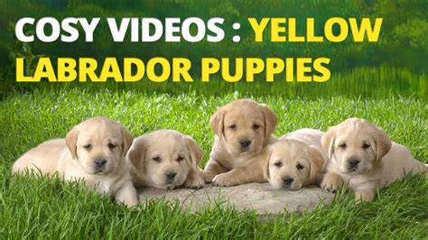 feeding a lab puppy yellow labrador puppies feeding and barking yellow lab pups