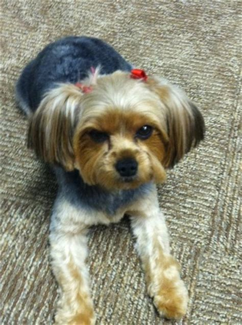 haircuts for yorkies with floppy ears yorkie haircuts with floppy ears breeds picture