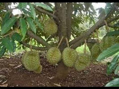 teknik sambung samping durian  berbuah lebat youtube