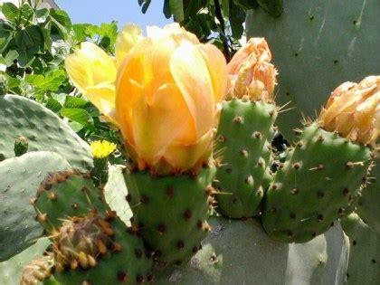fiore di fichidindia fico d india coltivazione
