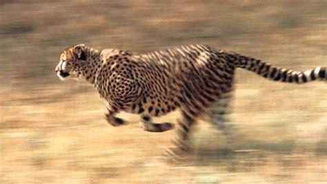 imagenes de animales rapidos la velocidad del guepardo el animal terrestre m 225 s r 225 pido