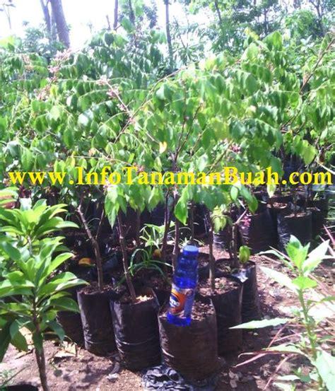Jual Bibit Buah Miracle Fruit jual bibit belimbing dewi kwalitas info tanaman buah