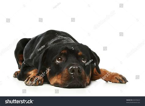 rottweiler sad sad rottweiler lies on a white background stock photo 65076823
