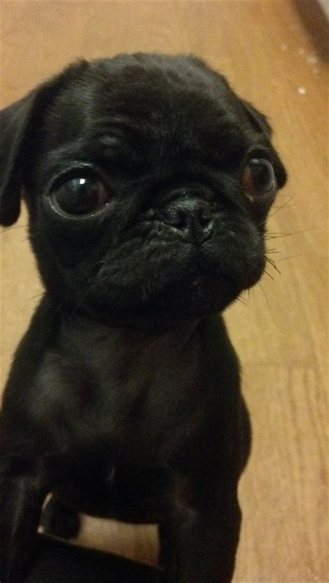 where can i buy a pug 17 best ideas about black pug on black pug puppies pugs and pug puppies