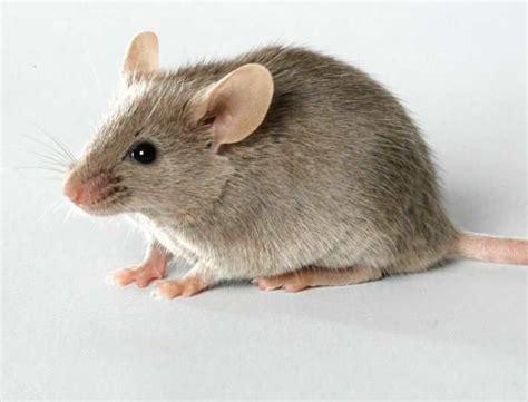 trik membuat jebakan tikus kumpulan tips trik resep dan informasi yang bermanfaat
