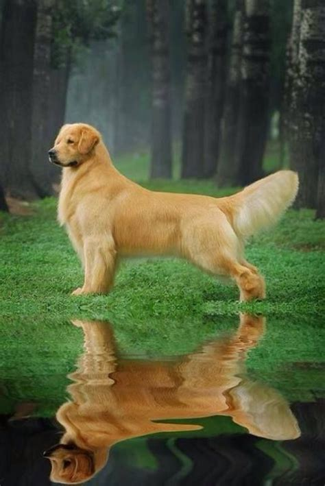 golden retriever show repinned beautiful golden retriever show trim large breed hairstyles