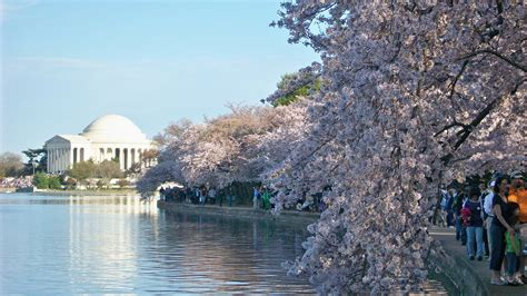 cherry blossom festival dc winter s foothold in east to delay peak bloom of dc s