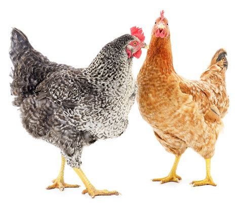 glycans chickens   campylobactor jejuni connection