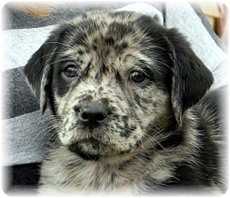 catahoula lab mix puppies catahoula lab mix puppy breeds picture