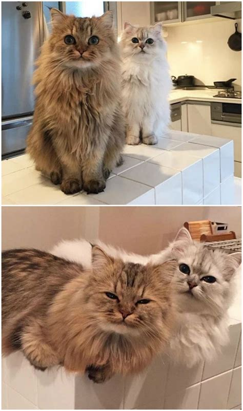 the in the world fluffiest cats in the world 12 newslinq