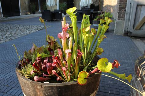 filecarnivorous plants myddelton house gardens enfield